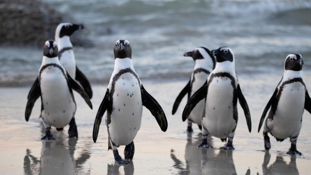 Australijski rząd wyburzył całe osiedle, żeby ratować pingwiny