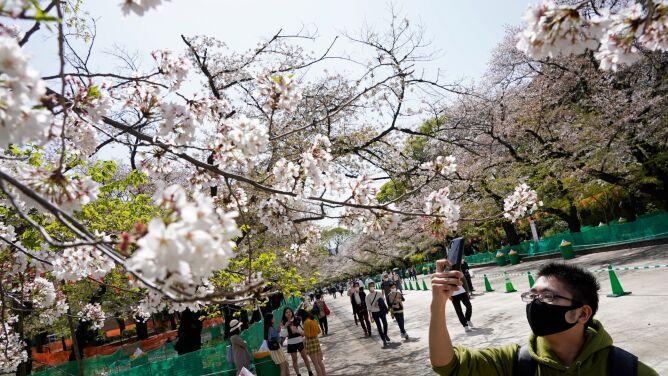 Szczyt kwitnienia wiśni w Japonii najwcześniejszy od 812 roku